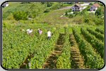 Regions viticoles de France, photos de viticulture et vinification